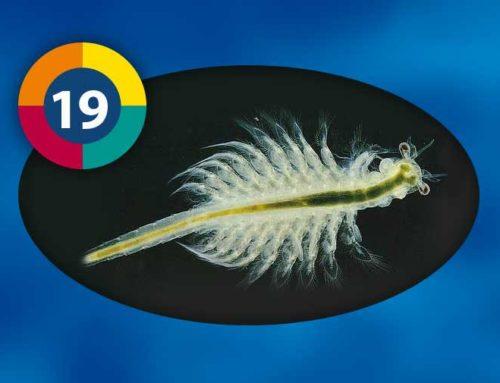 Artemia (Brine shrimp)